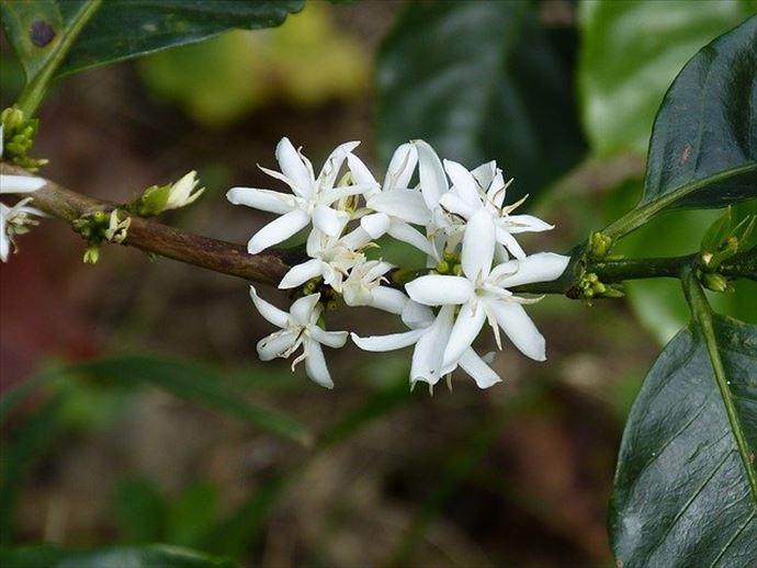 「コーヒー花はちみつ」を砂糖の代わりにコーヒーに入れると